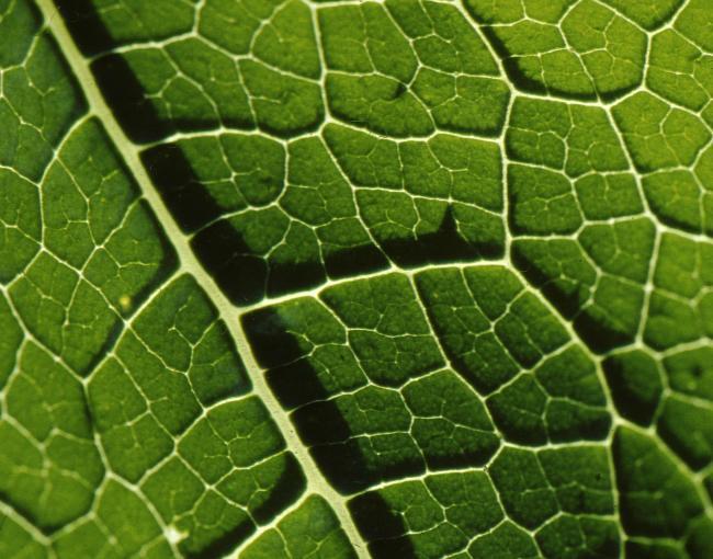Blattzellen